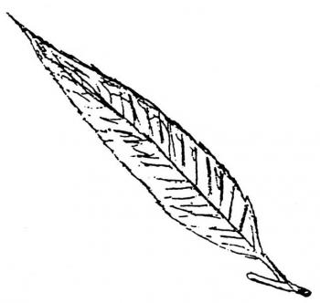 L110WillowLeaf.jpg