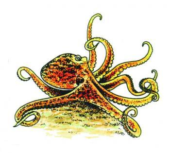 MS905Octopus.jpg
